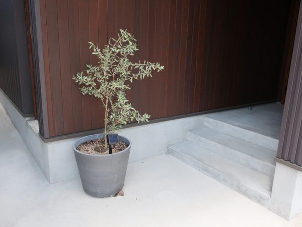 玄関 オリーブ 鉢植え