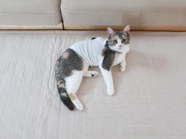 猫 避妊手術