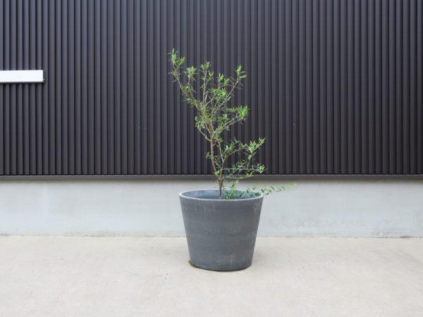 オリーブ 鉢植え