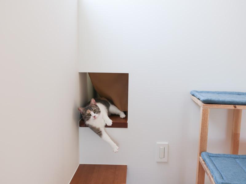 スコティッシュフォールド 三毛猫