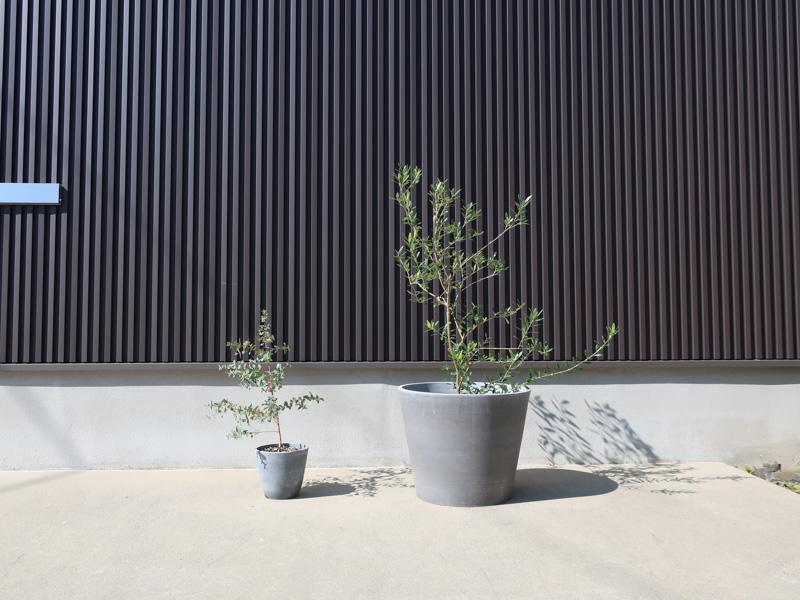 ガーデニング ユーカリ オリーブ 鉢植え