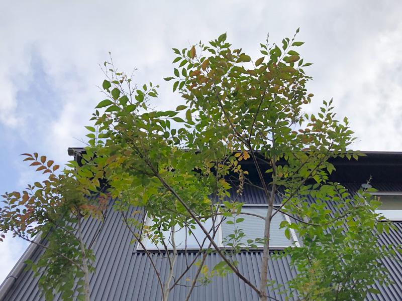 ヒメシャラ シマトネリコ シンボルツリー