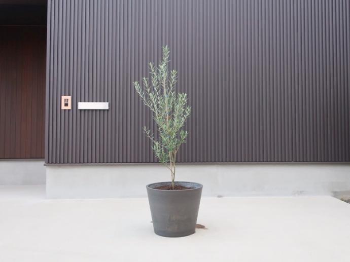 鉢植えオリーブの木