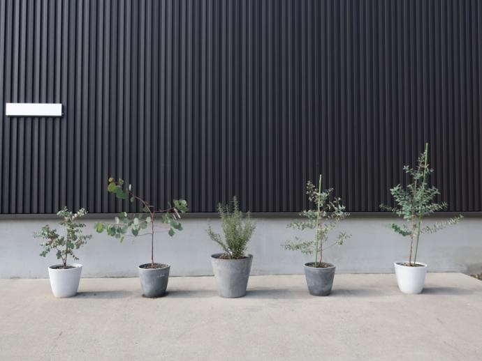 ユーカリ、ローズマリーの鉢植え